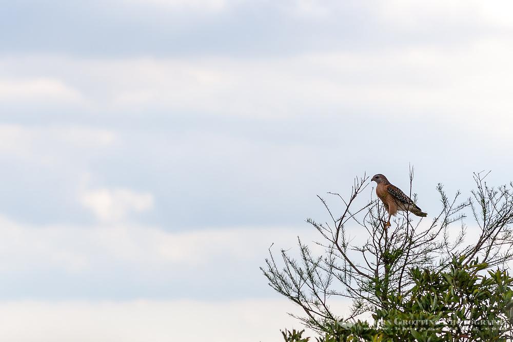 US, Florida, Everglades, Shark Valley. Red-shouldered Hawk.