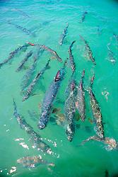 tarpons, .Megalops atlanticus, .Islamorada, Florida Keys National .Marine Sanctuary (Atlantic)