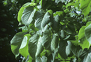American Lime (Basswood) Tilia americana (Tiliaceae) HEIGHT to 25m. Broadly columnar tree. BARK Greyish-brown. BRANCHES Mostly ascending. LEAVES To 20cm long and 15cm wide, toothed margins; deep green above, paler and more glossy below with brown hair tufts in vein axils. REPRODUCTIVE PARTS Pale-yellow, 5-petalled flowers, to 1.5cm across, in clusters of up to 10 from a 10cm-long bract. Fruits are hard and round. STATUS AND DISTRIBUTION Native of N America, planted here occasionally.