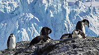 Chinstrap Penguin (Pygoscelis antarcticus). Point Wild, Elephant Island. Image taken with a Leica T camera and 18-56 mm lens.