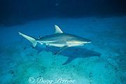blacktip shark, Carcharhinus limbatus, Walker's Cay, Abaco Islands, Bahamas ( Western Atlantic )