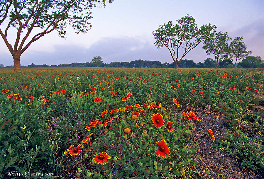 Blanket flower wildflowers at LBJ State Park Stonewall Texas