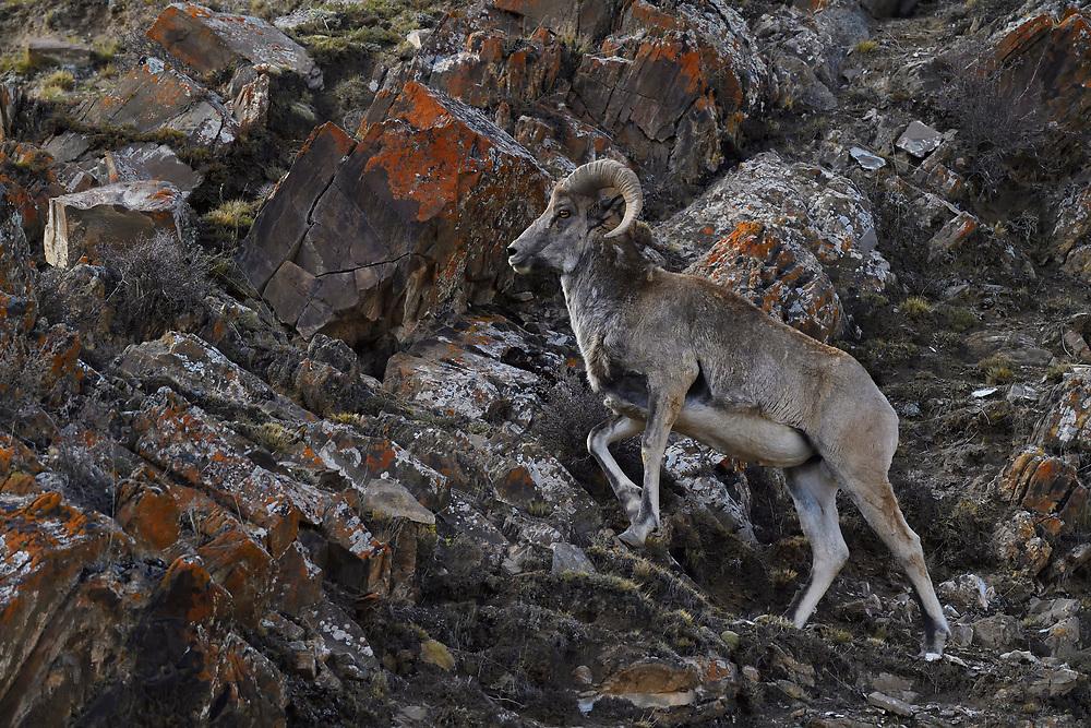 Single Argali, or the mountain sheep (Ovis ammon), walking in the mountains of Zhidua, Tibetan Plateau, Qinghai, China