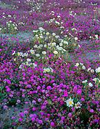 CADAB_112 -  Desert sand verbena and dune evening primrose bloom on dunes at base of the Santa Rosa Mountains, Anza-Borrego Desert State Park, California, USA