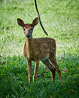 """Fawn with Spots """"Why are you Mowing the Grass???"""" . Image taken with a Nikon 1 V3 camera and 70-300 mm VR lens"""