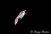 pelagic hyperiid amphipod, Lanceola sp., in surface waters of deep open ocean at night, Kona, Hawaii ( the Big Island ), USA ( Central Pacific Ocean )