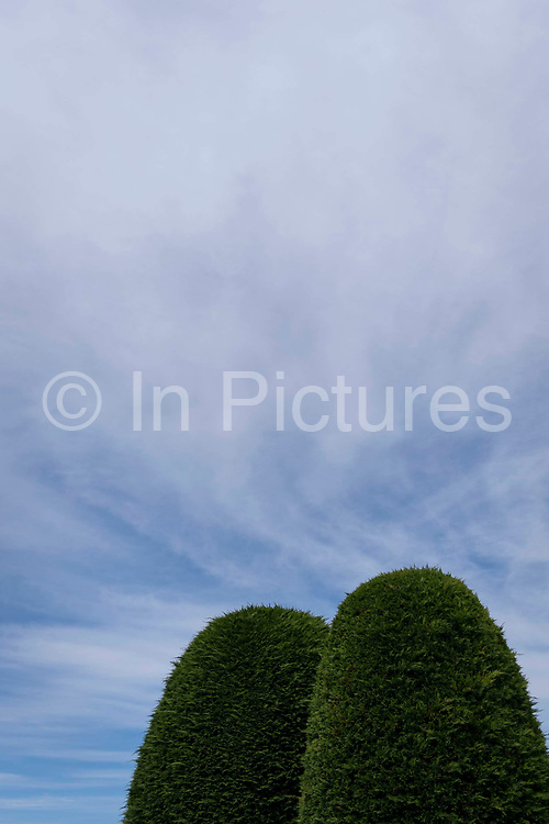 Two well-shaped conifers grow beneath high sirrus cloud on a Spring afternoon in a back garden, on 30th May 2021, in Nailsea, North Somerset, England.