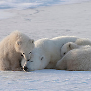 Polar Bear mother with her cubs resting. Churchill, Manitoba, Canada