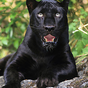 Black Panther (Panthera pardus) in the melanistic or dark color phase of leopard. Captive Animal
