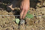 Chester, New York - Jay Uhler places a cabbage plant on the ground at Peace and Carrots Farm on April 23, 2013. The CSA (Community Supported Agriculture) farm is in its first growing season.