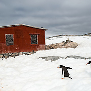 Two Gentoo penguins walk past a red emergency shelter hut on the shore of Petermann Island on the Antarctic Peninsula.