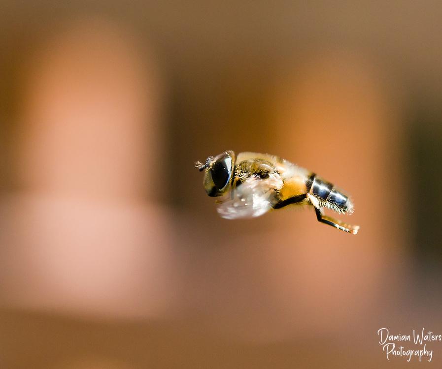 Hoverfly, Ferdinandrea cuprea, pictured in flight