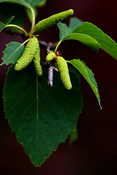 03 June 2008: Seed pods hang among the leaves of a white birch tree