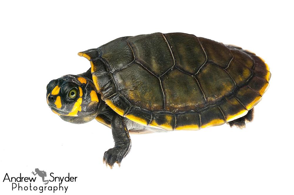 Yellow-spotted river turtle (Podocnemis unifilis) - Yupukari, Guyana.