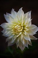 Stunning white dinner plate Dahlia.