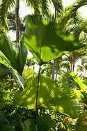 Livistona chiensis (Fan Palms) in the Sunnyside Garden, St. George's,  Grenada, West Indies, Caribbean