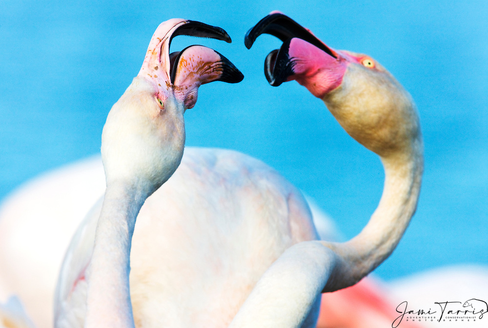 Close-up of two greater flamingos ( Phoenicopterus ruber) fighting , La Camargue, Provence, France
