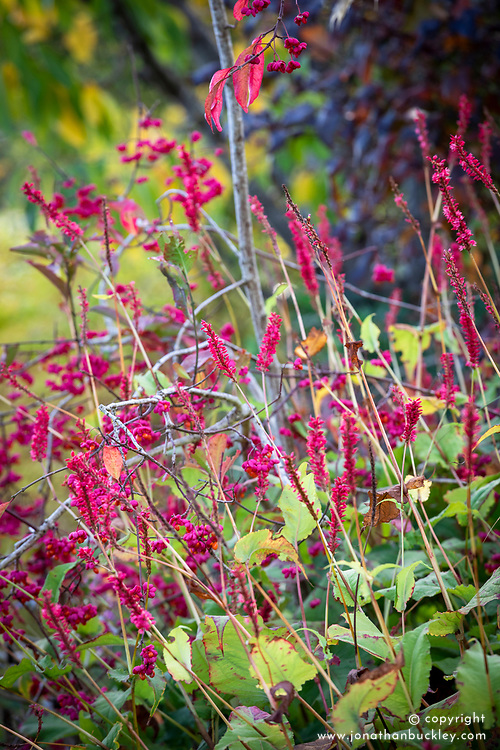 Persicaria amplexicaulis 'Firedance' - Red bistort, with Euonymus europaeus 'Red Cascade' - spindle.