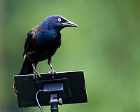 Common Grackle. Image taken with a Nikon D5 camera and 200-500 mm f/5.6 VR lens.