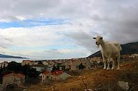 Geit, goat