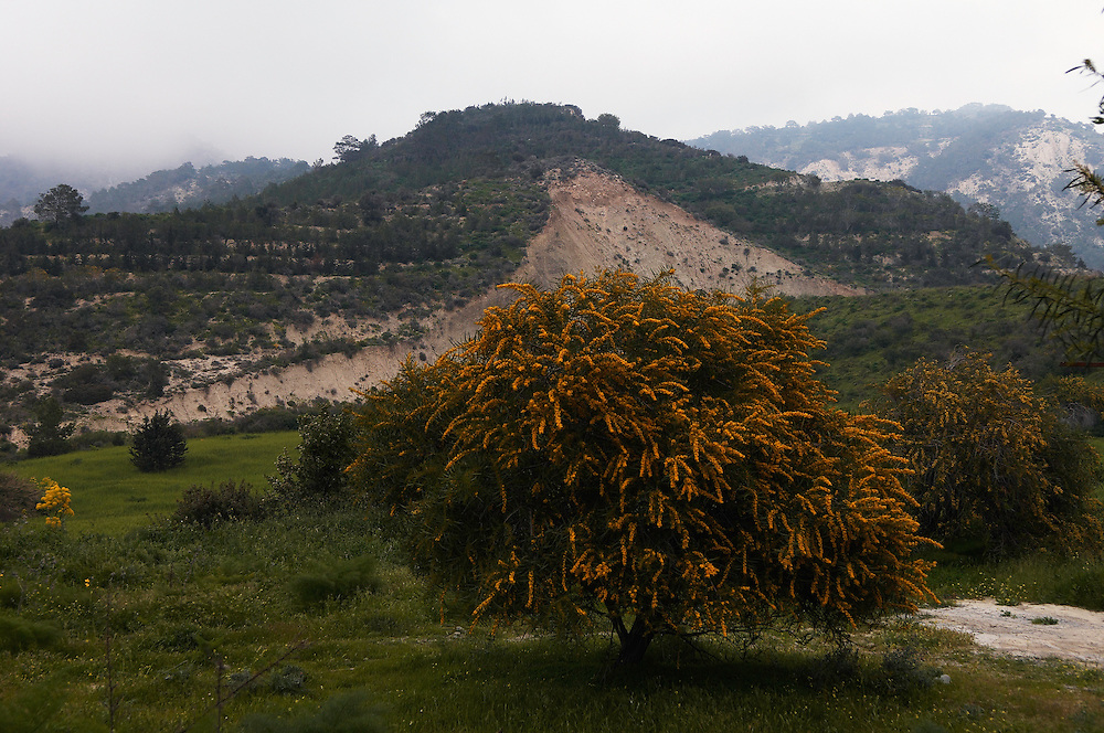 Blue Leaf Wattle (Acacia cyanophylla), Northern Cyprus