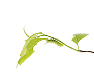 Lettered Spinx Caterpillar (Deidama insripta) on Sourwood Leaves (Oxydendrum arboreum)