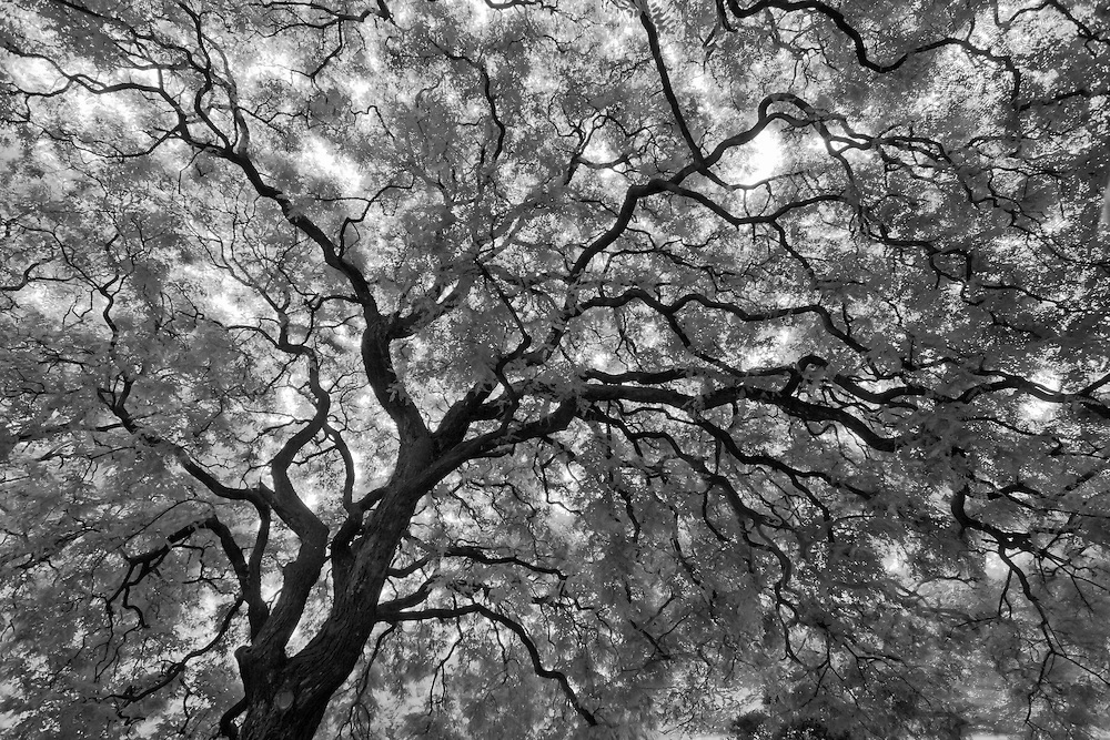 Black and White Photograph of a giant Gum Tree in Plaza San Martin, Buenos Aires, Argentina (2008).