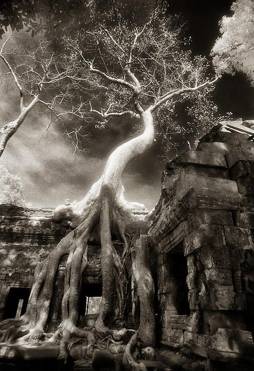 Twisted Tree - Ta Prohm.