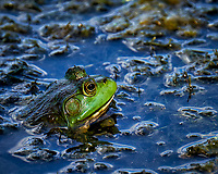Kermit the Bullfrog in the Pond. Image taken with a Fuji X-T1 camera and 100-400 mm OIS lens (ISO 200, 400 mm, f/5.6, 1/210 sec).