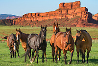 In the dry climate west of Kaycee, it does not stay this green for very long. But I love the contrast of the greenery with the red rock formations. I came across these 6 horses at the Hole in the Wall Ranch while driving by. They were on the other side of the field but trotted over to greet me as soon as I walked up to the fence. This area has a history of horse thievery. At the end of the 1800's this was the hideout of the Hole-in-the-Wall Gang, which included Butch Cassidy and many other outlaws. They would lay up here after robbing trains or rustling cattle. This rugged country was easily defended with only one way in from the east. While there were shootouts, in 50 years no lawmen were ever able to capture any gang members here.