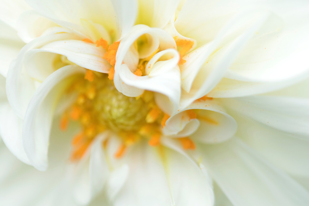 """White dahlia<br /> <br /> 18"""" x 12""""<br /> <br /> See Pricing page for more information.<br /> <br /> Please contact me for custom sizes and print options including canvas wraps, metal prints, assorted paper options, etc. <br /> <br /> I enjoy working with buyers to help them with all their home and commercial wall art needs."""
