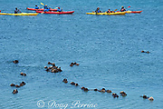 kayak paddlers pass a raft of resting California sea otters or southern sea otters, Enhydra lutris nereis ( threatened species ), Elkhorn Slough, Moss Landing, California, United States ( Eastern Pacific )
