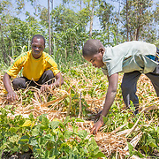 CAPTION: Fidelis and Andris are packing dried vegetation between the lines of vegetables they're growing to ensure the ground retains moisture. This is called 'mulching'. LOCATION: Nsanja-Seze, Vila Ulongwe area, Angonia District, Tete Province, Mozambique. INDIVIDUAL(S) PHOTOGRAPHED: Fidelis Dickson (left) and Andris Dickson (right).