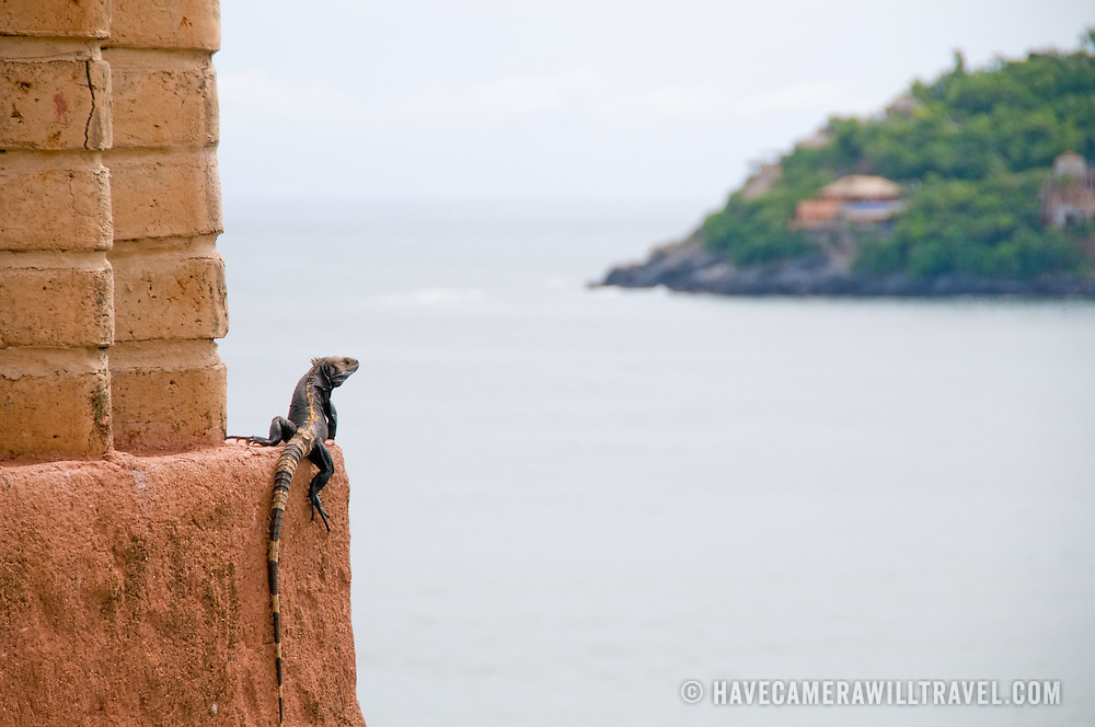 An iguana perched on an adobe wall overlooking the bay at Zihuatanejo.