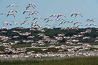 Greater Flamingos (Phoenicopterus ruber)<br /> about 25,000-30,000 flamingos over winter in Doñana but very few breed there as the wetlands dry up before the chicks are completely grown.<br /> Lagoon & Dunes<br /> Doñana National & Natural Park. Huelva Province, Andalusia. SPAIN<br /> 1969 - Set up as a National Park<br /> 1981 - Biosphere Reserve<br /> 1982 - Wetland of International Importance, Ramsar<br /> 1985 - Special Protection Area for Birds<br /> 1994 - World Heritage Site, UNESCO.<br /> The marshlands in particular are a very important area for the migration, breeding and wintering of European and African birds. It is also an area of old cultures, traditions and human uses - most of which are still in existance.