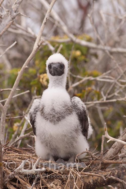 A red-footed booby (Sula sula) chick on Genovesa Island, Galapagos Archipelago - Ecuador.