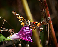 Painted Lady butterfly on a pink morning glory flower. Autumn Backyard Nature in New Jersey. Image taken with a Fuji X-T2 camera and 100-400 mm OIS telephoto zoom lens.