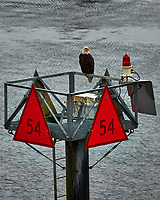 Bald Eagle on Channel Marker 54 From the deck of the MV Columbia (Alaska Marine Highway). Image taken with a Nikon D3x camera and 70-300 mm VR lens (ISO 400, 280 mm, f/5.6, 1/125 sec).