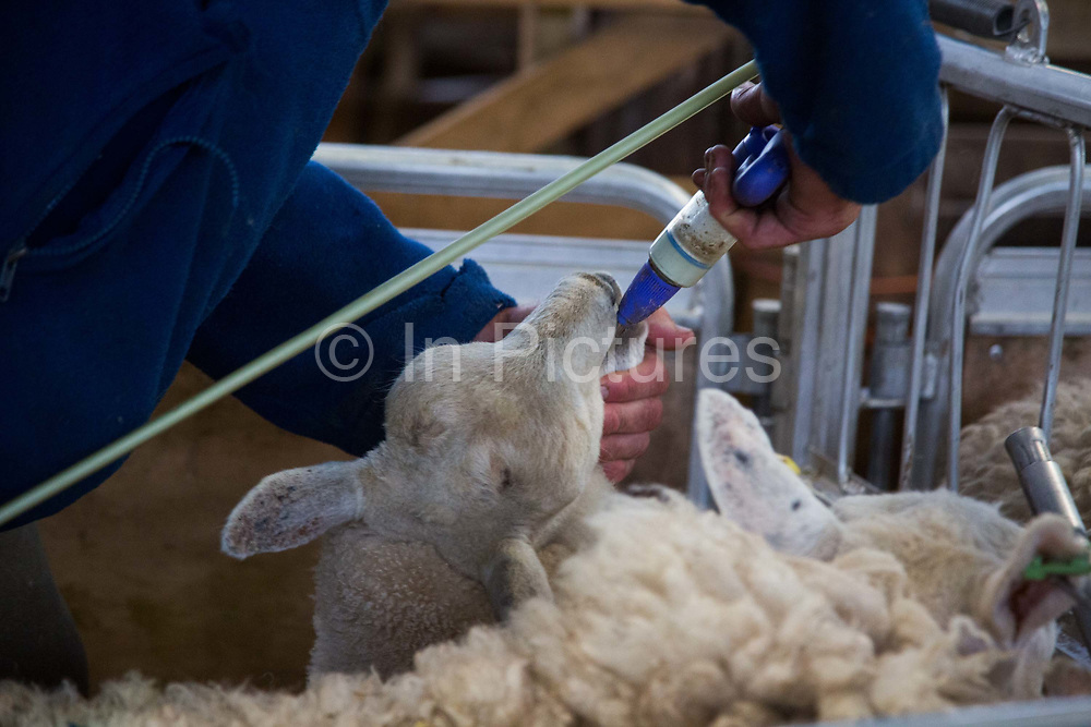 A lamb is given a shot of anti-worm medicine during sheep shearing on a farm in the Scottish Borders July 26 2016. A team of two sheep shearers cut sheep owned by farmer Stewart Ranciman. The team plus helpers gets through 400 sheep in one day taking 1min 20 sec. per sheep. Rancimans sheep live in the hills and only come into the farm to lamb and to get cut.