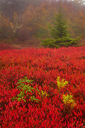 Fiery red ground cover carpets the Rohrbaugh Plains in fall color, located in the Dolly Sods Wilderness in the Monongahela National Forest, West Virginia.