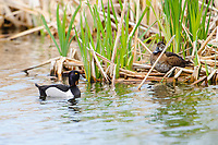 Male Ring-necked Duck (Aythya collaris) swimming, French Basin trail, Annapolis Royal, Nova Scotia, Canada,