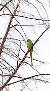 Rose-ringed Parakeet (Psittacula krameri), AKA the Ringnecked Parakeet in a tree. The Rose-ringed Parakeet has established feral populations in various parts of the world including Israel, competes with the local wildlife and is considered a pest. Photographed in Israel in November