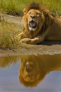 Male lion resting by a waterhole