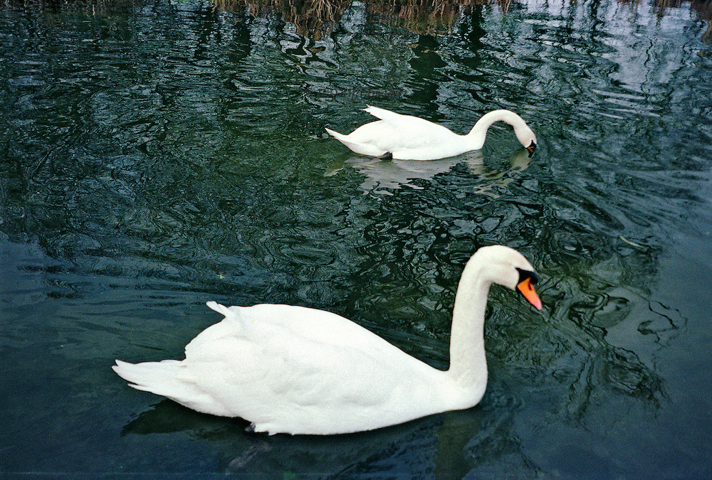 Two swans elegantly swimming in the River Test, Hampshire, England. Nearby grasses are reflected in the water. One dips its head in the water while the other sails gently past.