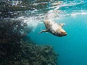 A Galapagos Sea Lion pup (Zalophus wollebaeki) swimming underwater, Santa Fe Island, Galapagos Islands, Ecuador