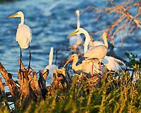 Great Egret (Ardea alba), White Ibis (Eudocimus albus). Black Point Wildlife Drive. Merritt Island National Wildlife Refuge. Image taken with a Nikon D3 camera and 70-200 mm f/2.8 VR lens.