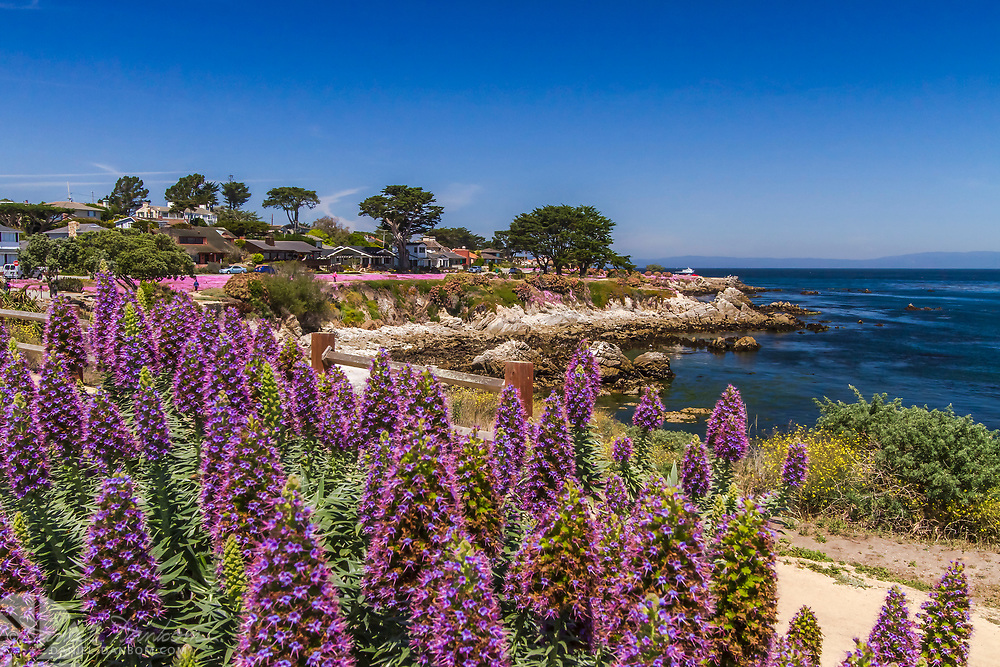 Magic Pink Carpet flowers along the Pacific Grove, California shoreline walking trail near Lovers Point.