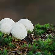 Common Puffballs (Lycoperdon perlatum),  PNR Livradois Forez; Fournols, Auvernge, France