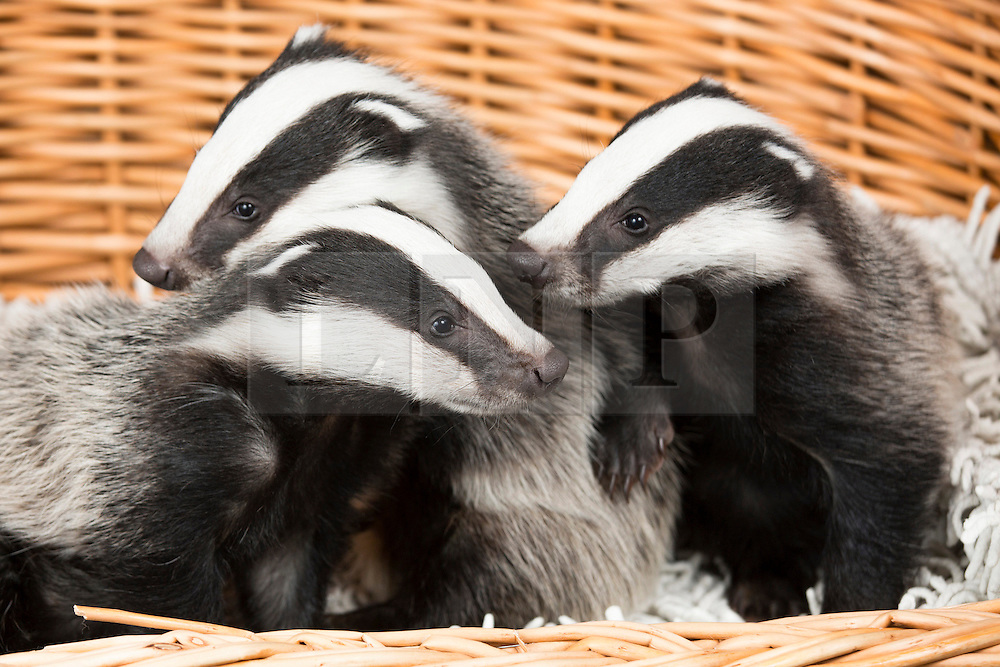 """© Licensed to London News Pictures. 24/4/2014. Nuneaton, Warwickshire, UK. Pictured, Badger cubs Scampy, Fidget and Dopey were found by a rambler when just four weeks old, they were hiding in a hedgerow, suffering from hypothermia and lack of food, their parents both nearby, shot dead. Taken to Warwickshire Wildlife Sanctuary in Nuneaton, they were brought back to life with love and care by Geoff Grewcock who runs the Sanctuary along with 25 volunteers. The baby cub badgers now 12 weeks old, have doubled in size, Geoff smiles, """"for some reason they have also taken a liking to my custard cream biscuits, they seem to love them and are currently getting through a packet a week""""  Now checked by a local vet, inoculated and tagged, Geoff has found a home for them at  Secret World in Somerset, where they will join other badgers in purpose built sets and hopefully lead a full life. Geoff can be contacted on 02476 345243. Photo credit : Dave Warren/LNP"""
