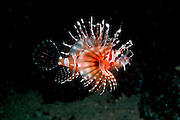 UNDERWATER MARINE LIFE WEST PACIFIC, generic FISH: Lionfish Pterois Volitans